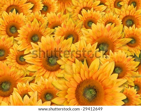 yellow background with field of sunflowers - stock photo