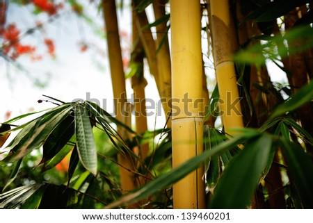 Yellow bamboo forest - stock photo