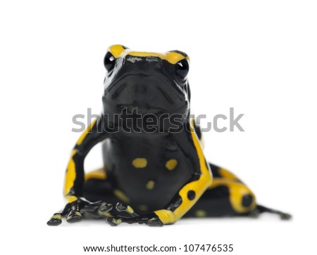 Yellow-Banded Poison Dart Frog, also known as a Yellow-Headed Poison Dart Frog and Bumblebee Poison Frog, Dendrobates leucomelas, portrait against white background - stock photo