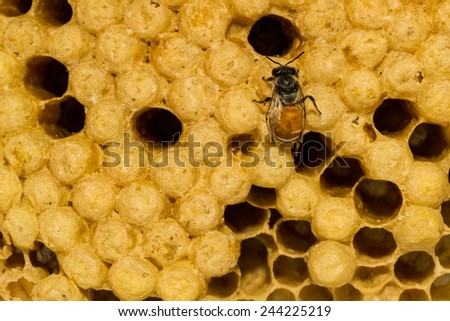 Yellow beautiful honeycomb with honey and young bee on nature background. - stock photo