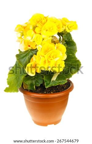 Yellow begonia isolated on white background - stock photo