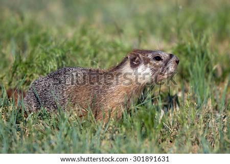 Yellow-bellied Marmot in Wyoming - stock photo