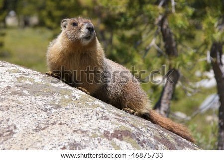 Yellow-bellied marmot (marmota flaviventris) in Tuolumne Meadows, Yosemite National Park