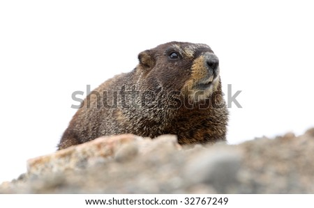 yellow bellied marmot showing teeth, copy space - stock photo