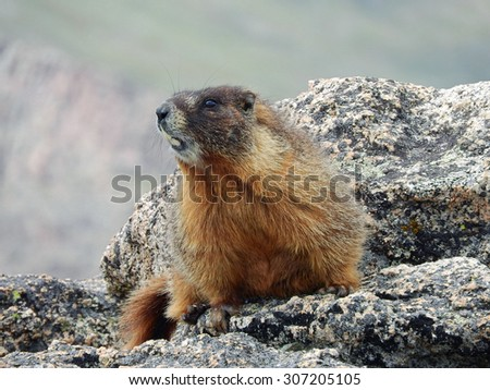 Yellow-bellied marmot  spoofed on a boulder while hiking up mount evans, colorado          - stock photo