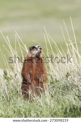 Yellow-bellied Marmot Standing in Prairie Grass - stock photo