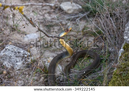 Yellow-bellied snake basking in the sun in a stone crack. The biggest snake in Europe. Up to 2.5 meters. Very aggressive snake. Selective focus. Movement Attack - stock photo