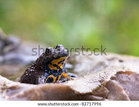 Yellow-Bellied Toad, Bombina variegata resting in a stone filled with some water