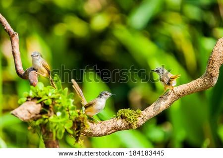 Yellow-bellied Wren Warbler in habitat - stock photo