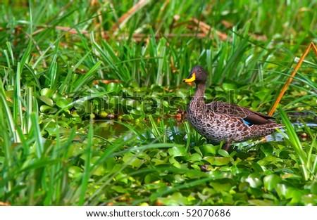 Yellow-billed duck on the lake Naivasha. Africa. Kenya - stock photo