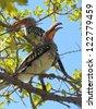 Yellow-billed Hornbill. - stock photo