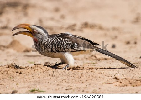 Yellow billed hornbill close up digging for insects in dry Kalahari sand - stock photo