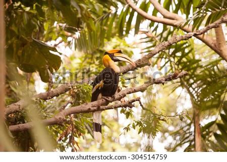 Yellow Billed Hornbill Great hornbill, Great indian hornbill, Great pied hornbill, Hornbill. - stock photo