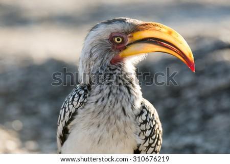 Yellow-billed hornbill in Kruger National Park - stock photo