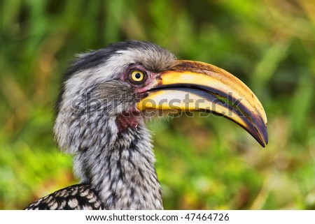 Yellow-billed hornbill, Kruger National Park, South Africa - stock photo