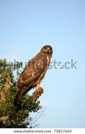 Yellow billed kite bird of prey perched on a branch - stock photo