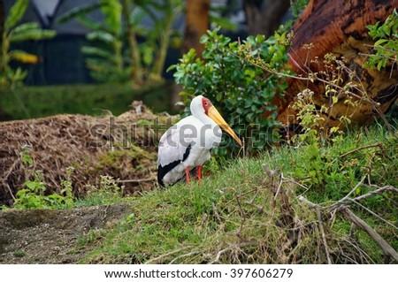 Yellow billed stork in Lake Naivasha, Kenya - stock photo