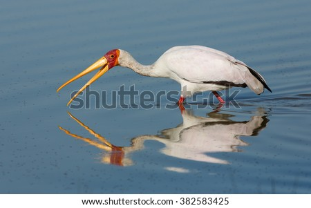 Yellow billed stork in water in the Khwai reserve in Botswana - stock photo