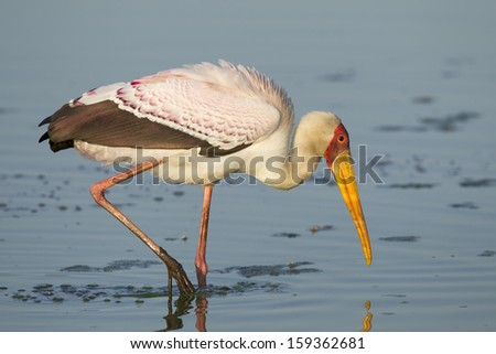 Yellow Billed Stork (Mycteria ibis) fishing in a natural pan in Kruger Park, South Africa - stock photo