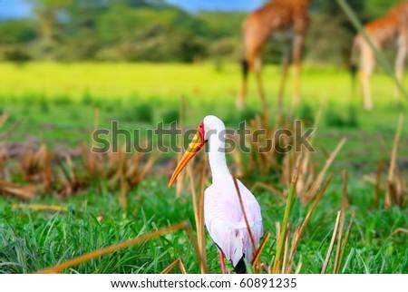 Yellow billed stork on the lake Naivasha. Africa. Kenya - stock photo
