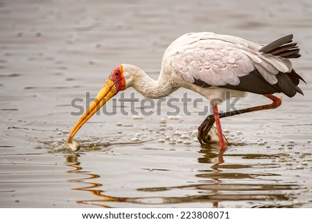 yellow-billed stork with fish
