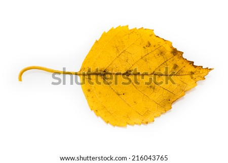 Yellow Birch Leaf in Autumnal Colors Isolated on White Background - stock photo