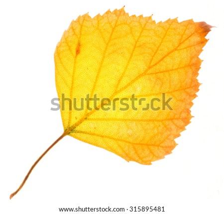 Yellow birch leaf isolated on white - stock photo