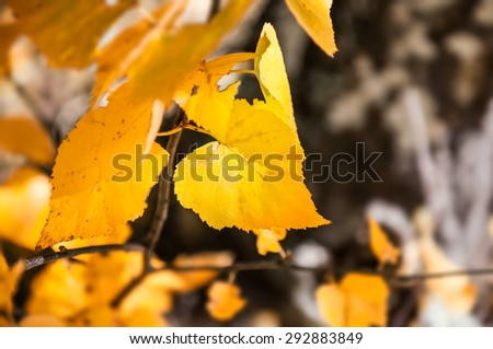 Yellow birch leaves in autumn forest. Selective focus. Autumn nature, fall scene