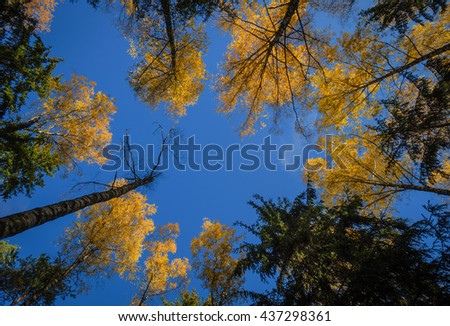 yellow birch tops, view from below - stock photo