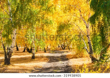 Yellow birch trees in autumn forest. Beautiful autumn landscape, fall scene.