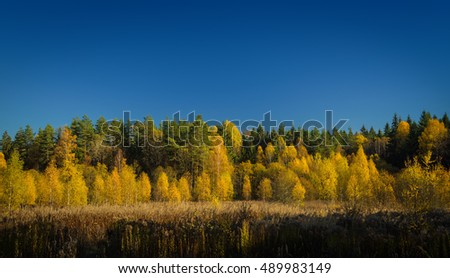 yellow birches among the green pines and spruces