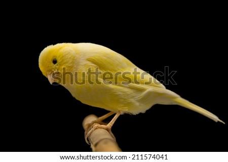yellow bird isolated against black background  - stock photo