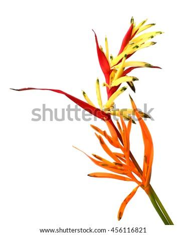 Yellow Bird of paradise flower isolated on white background - stock photo