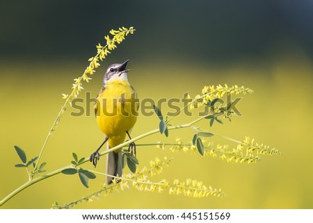 yellow bird Wagtail sings on the flowering yellow meadow in summer - stock photo