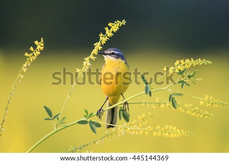 yellow bird Wagtail sitting on yellow sweet clover - stock photo