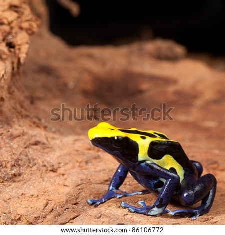 yellow black poison dart frog with blue belly, beautiful tropical rain forest amphibian a colorful pet animal kept in a terrarium - stock photo
