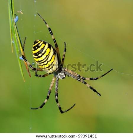 Yellow-black spider in her spiderweb - Argiope bruennichi - stock photo