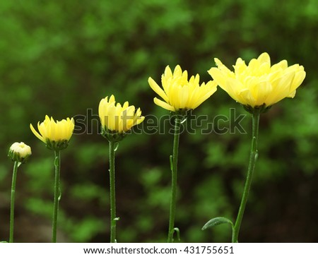 Yellow blooming flowers on green leaves background - stock photo