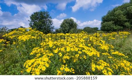 Yellow blooming Jacobaea vulgaris or Senecio jacobaea plants in their own habitat. - stock photo