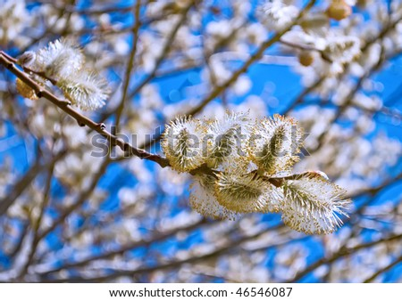 Yellow blooming pussy willow branch - stock photo
