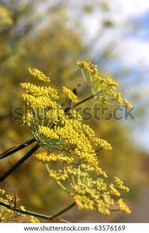 Yellow blossom near country road - stock photo
