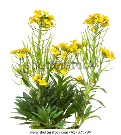 Yellow blossoms of the Erysimum Cheiry plant a common old garden plant, on white.. - stock photo
