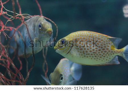 Yellow Blotch Rabbitfish (Siganus guttatus)  - stock photo