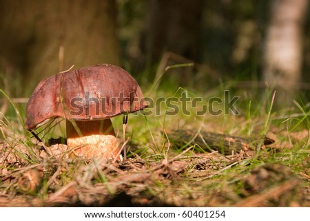 yellow boletus