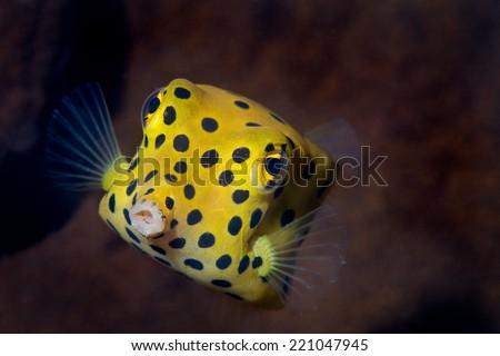 Yellow Box Fish - stock photo