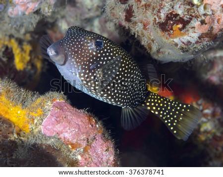 Yellow boxfish in Bali sea, Indonesia - stock photo