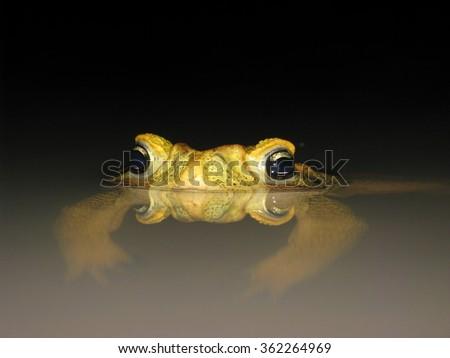 Yellow brazilian toad - stock photo