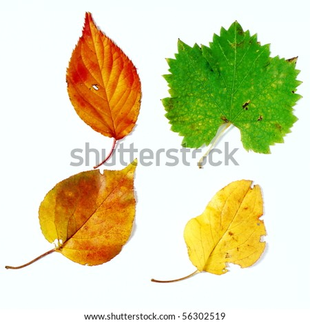 Yellow brown and red leaves over white background