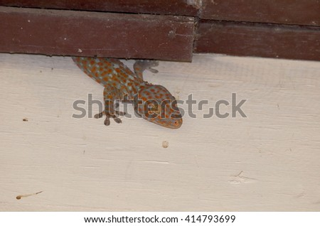 yellow brown with red orange dots on the rough skin, house lizard gecko climbing on house wall  - stock photo