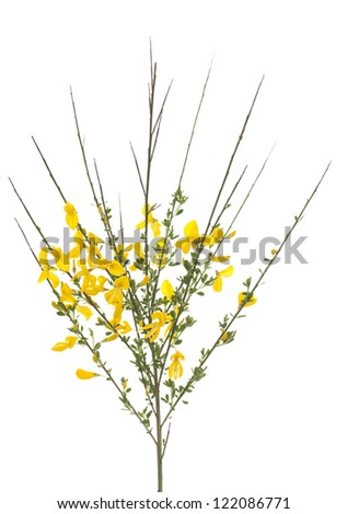 yellow bush broom (Cytisus scoparius) on white - stock photo